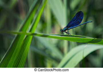 Blue dragonfly on leaf