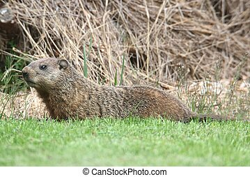 Groundhog Marmota monax also known as a Woodchuck in a field...