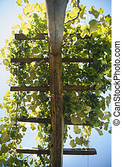 Pergola with vines - Small wooden pergola with vines from...