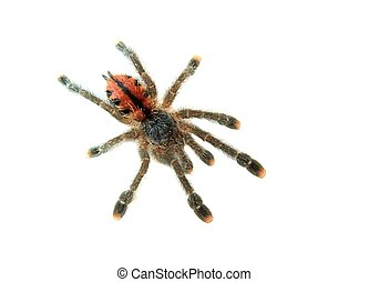 Spider - Tarantula spider isolated on white