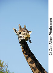 Giraffe Sticking out Tongue - Giraffe sticking his tongue...