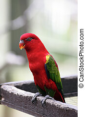 An Australian King Parrot (Alisterus scapularis) at a bird...