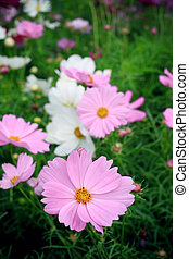 pink cosmos flowers in green garden field vertical form
