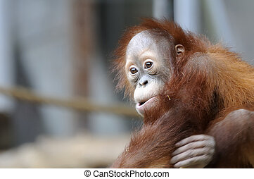 YOUNG ORANGUTAN - Landscape shot of a young orangutan from...
