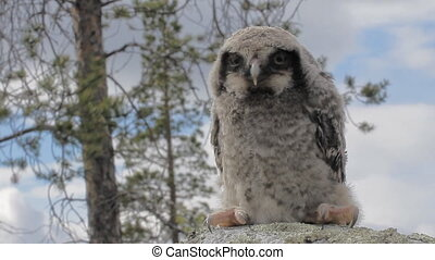 Cute fluffy owlet sitting on stone - Portrait on face of...