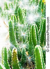 Stapelia grandiflora, Asclepiadaceae, South Africa Cape,...