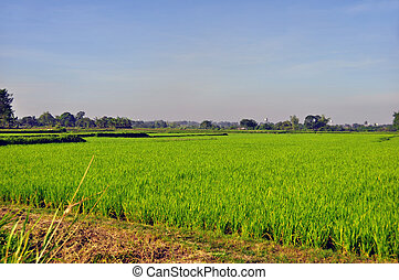 Ricefield - Wide shot of ricefield somewhere in Southern...
