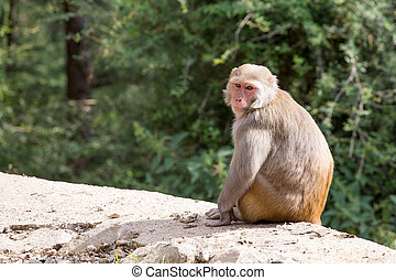 Macaque monkey in Mcleod Ganj, Dharamsala, India.
