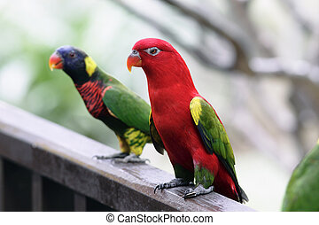 An Australian King Parrot (Alisterus scapularis) with a...