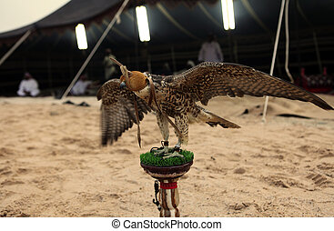 Falcon at Arab bedouin camp - A hunting falcon tethered to a...