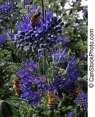 azul, mel,  salvia, abelhas, flores