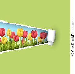 Green grass lawn with tulips and ripped paper sheet isolated on green. Floral nature flower background