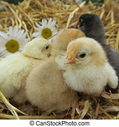 cute chicks - four cute chicks snuggle in fresh straw in the...