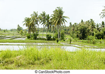 Rice field on Bali