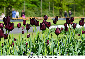 Beautiful black tulip flowers in Keukenhof Garden