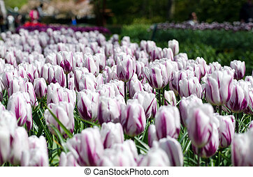 Beautiful white tulip flowers in Keukenhof Garden