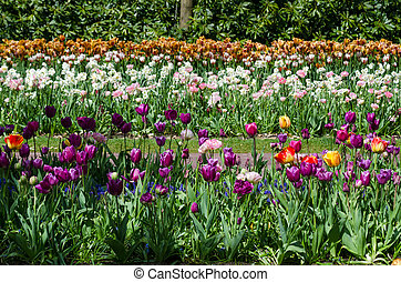 Colorful tulip flowers in Keukenhof Garden