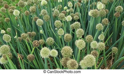 spring onion flower vegetable garden