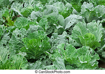 The cabbage bed.
