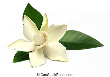 flor,  Gardenia, meridional,  Asia,  gondhoraj, o