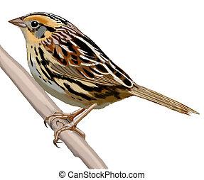 LeContes Sparrow - Lecontes Sparrow - Ammodramus leconteii