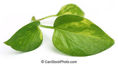 Epipremnum aureum or Money plant over white background