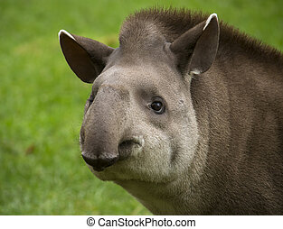 Tapir portrait - Closeup portrait of a tapir looking into...