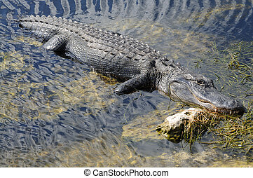 American Alligator in the Everglades National Park, Florida