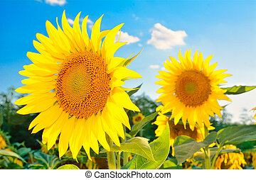 beautiful sunflowers
