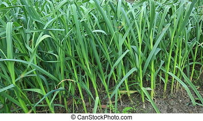 green chinese garlic in growth at field