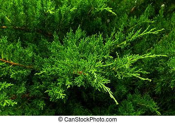 Shrub - Juniper shrub close-up.