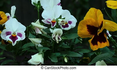Colourful pansies - Pansy flowers close up, dolly shot