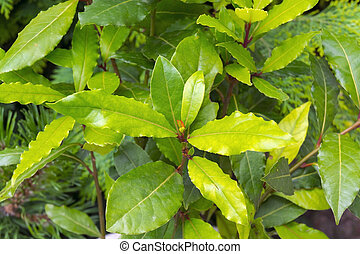 Grecian laurel Laurus nobilis plant and leaves