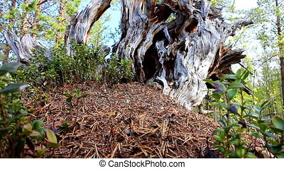 Wood ants live in the picturesque snag - ants built anthill...