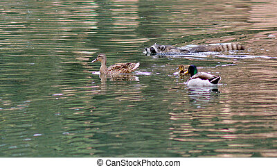 Raccoon swim in a pond with ducks family.