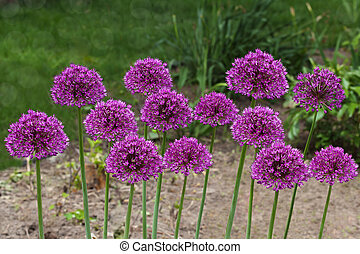 Purple Allium Flowers - Purple giant Allium Flowers plant in...