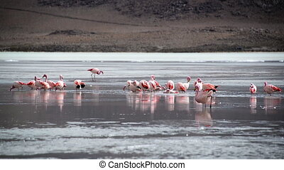 Flock of Flamingos in a Lake - Flock of pink flamingos in a...