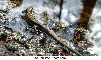 Viviparous lizard swims - Mainland lizard sits on shore and...