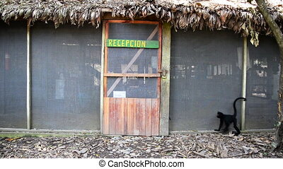 Spider Monkey Opening a Door - A clever spider monkey...