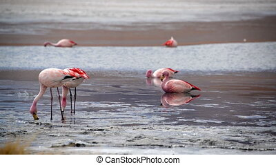 Flamingos Feeding in a Lake - Pink flamingos feeding in a...