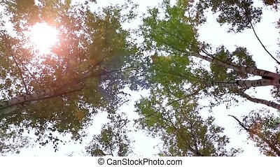 Upward view of Fall Trees. Forest in autumn