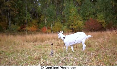 Goats are grazed on a meadow in the fall