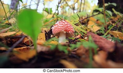 Amanita muscaria. falling leaves in autumn forest. HD....