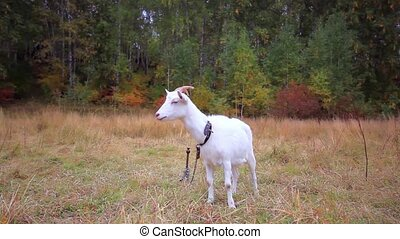 Goat is grazed on a meadow in the fall