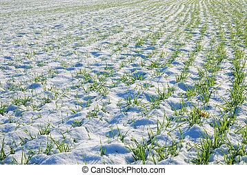 grain field in winter - grain field covered by snow in...