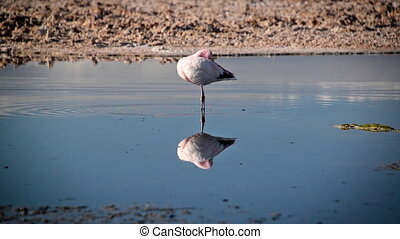 Flamingo in San Pedro, Chile - Flamingo in Lake Chaxa near...