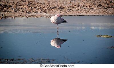 Flamingo in San Pedro, Chile - Flamingo in Lake Chaxa near...