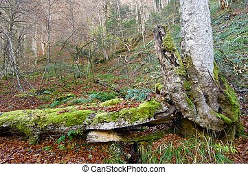 Pyrenees - Autumn forest in Aspe Valley, Pyrenees, France.