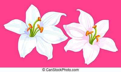 Calla lily - drawing of two white calla lilies in a pink...
