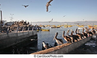 Pelicans in a Harbor - Pelicans and other birds in a busy...